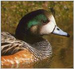 Duck: Chiloe Wigeon