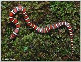 Coastal Plains Milk Snake  (L. t. triangulum x  L. t. elapsoides) #1