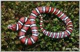 Coastal Plains Milk Snake  (L. t. triangulum x  L. t. elapsoides) #2