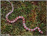 Coastal Plains Milk Snake  (L. t. triangulum x  L. t. elapsoides) #3
