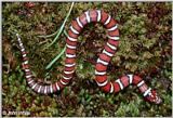 Coastal Plains Milk Snake  (L. t. triangulum x  L. t. elapsoides) #4
