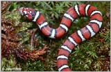 Coastal Plains Milk Snake  (L. t. triangulum x  L. t. elapsoides) #7