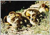 Duckling Picture - #1