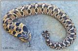 Eastern Hognose Snake (copper phase)