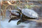 Eastern Painted and Red-eared Slider Turtles