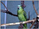 Blue-Fronted Amazon (amazona aestiva)