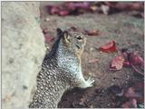 Ground Squirrel 68k jpg