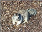 Ground Squirrel 99k jpg