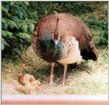 female peacock with chicks