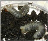 2nd grade larvae(of flat stagbeetle)