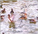 Fulvous Whistling Duck Mutation