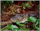 Alligator - Okefenokee Swamp - gator03.jpg