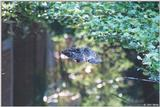 American Alligator - Alligator mississippiensis
