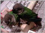 My Birds - Baby conures