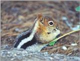 golden mantle ground squirrel 86k jpg
