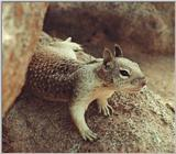 Calif Ground Squirrel 125k