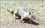 Calif Ground Squirrel 132k