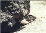 Calif Ground Squirrel 107k