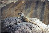 Calif. Ground Squirrel 74.4k jpg