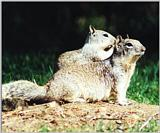 Calif. Ground Squirrel