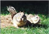 California Ground Squirrel 85k jpg