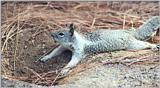 California Ground Squirrel 125k jpg