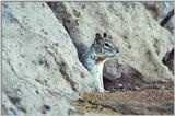 California Ground Squirrel 52k jpg