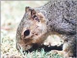 ground squirrel 120k jpg