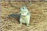Ground Squirrel 84k
