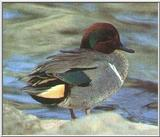 Re: waterfowl pics - Green-winged Teal