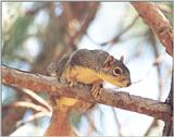 Fox Squirrel 82k jpg