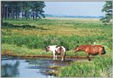 Wild ponies of Assateague Island, Virginia - U.S.A.