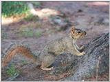 grey squirrel 26.2k jpg