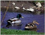 Re: waterfowl pics - Mallards