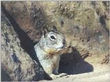 Ground Squirrel 79k jpg