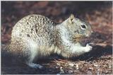 Ground Squirrel 92k jpg