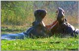 Wildlife Vidcaps 03 - File 21 of 59 - mm Hippos 12.jpg 55Kb (1/1)