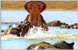Wildlife Vidcaps 03 - File 37 of 59 - mm Hippos 28.jpg 51Kb (1/1)