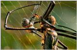 Wildlife Vidcaps 02 File 60 of 62 - mm Spider's Web & Giant Honey Bees 07.jpg 46Kb (1/1)