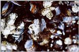 Barnacles and Mussels - Cape Perpetua, OR - moll01.jpg