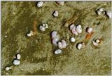Interesting Mollusks - Tybee Beach - Savannah, GA - mollusk1.jpg