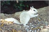 white ground squirrel