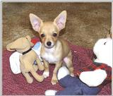 New Chihuahua and her Toys (jpg)