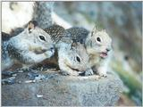 Calif Ground Squirrels