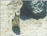 Calif Ground Squirrel nov2 4