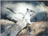 Calif Ground Squirrel nov2 5
