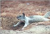 California Ground Squirrel 89k jpg