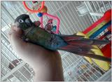 Green Cheeked Conure - Zach