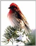 Re: Request for American Birds -- Purple Finch