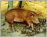 Pig Pictures - Homeplace 1850